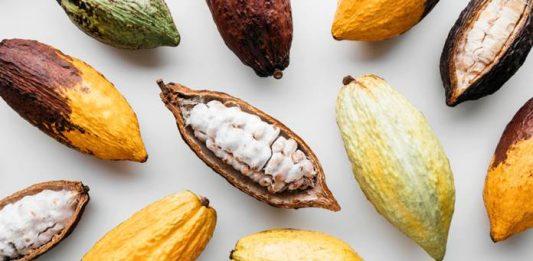 cara mengolah kulit buah kakao