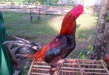 cara meracik pakan alternatif ayam bangkok