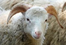 ekspor ribuan domba
