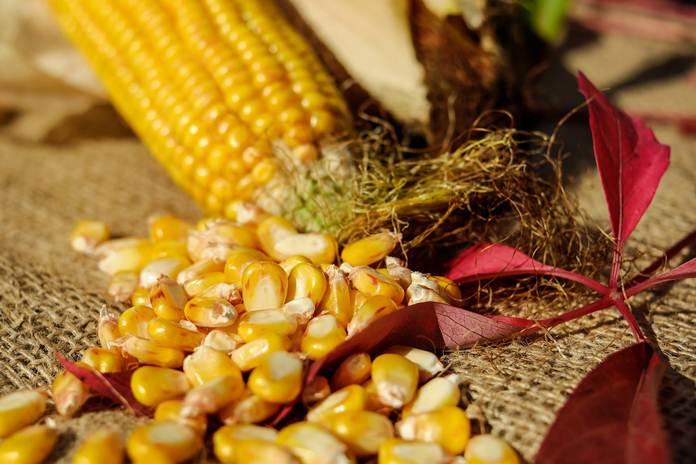 benih jagung berbahaya