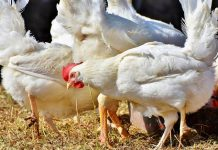 Harga ayam di tingkat peternak