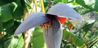 khasiat jantung pisang