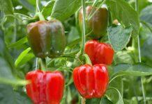 tren paprika jadi tanaman hias