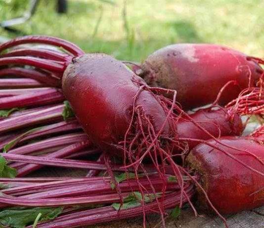 Bertanam buah bit merah