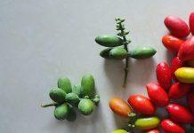 tanaman melinjo