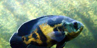 pakan organik ikan oscar