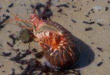 benih lobster hasil selundupan