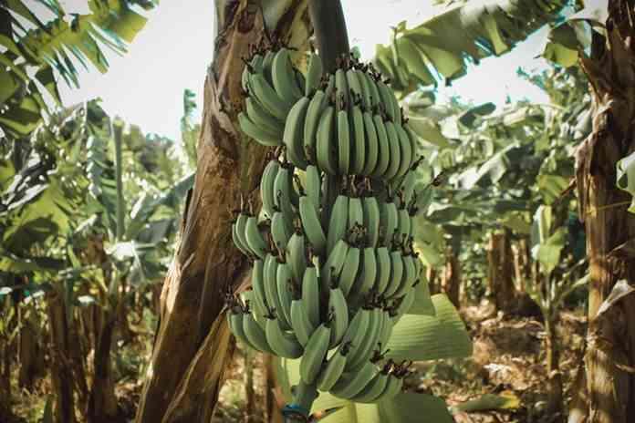 syarat tumbuh pisang