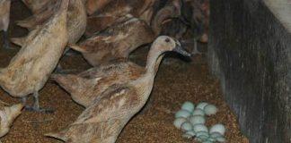 tingkatkan produksi telur bebek