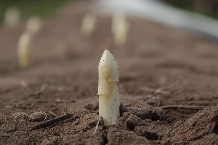 pemeliharaan tanaman asparagus
