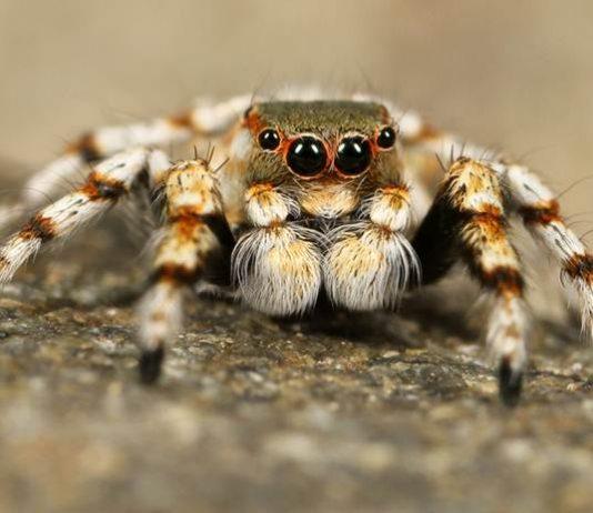 Racun laba-laba mematikan