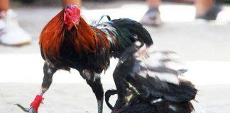 tanda ayam bangkok yang siap bertarung