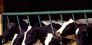 teknik pemberian pakan sapi