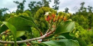 pemupukan tanaman cengkih