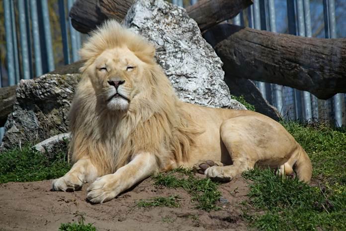 peternakan singa untuk bisnis aksesoris