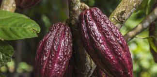 panen buah kakao