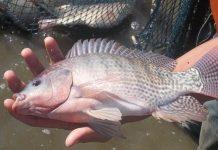 membedakan ikan nila jantan dan betina