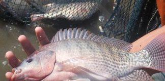 Artikel Ikan Nila Jantan Terbaru Artikel Pertanian Terbaru Berita Pertanian Terbaru