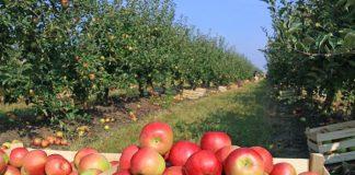 sensasi makan apel dari kebunnya langsung