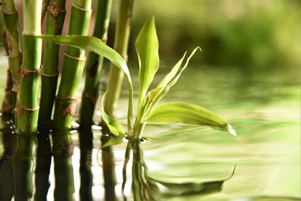 media tanam untuk bambu air