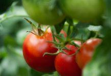 Berkebun sayuran di pekarangan