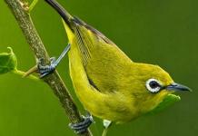 cara budidaya burung pleci