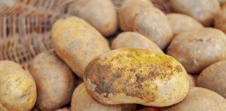 produksi benih kentang dan krisan