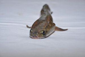 pemijahan buatan ikan gabus