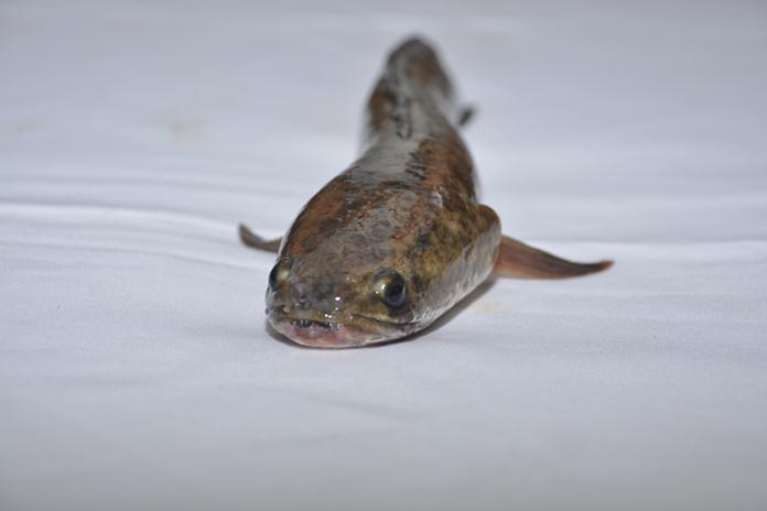 pemijahan ikan gabus