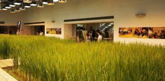 Cara bertanam padi petani Jepang