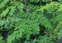 Cara mengolah daun kelor untuk meningkatkan produksi ASI