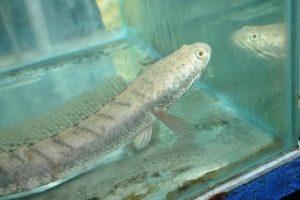 cara pemijahan alami ikan gabus