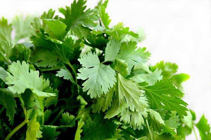 cilantro atau daun ketumbar