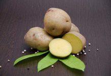 Usaha pembibitan kentang