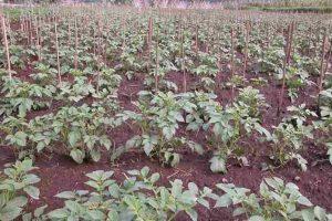 Syarat tumbuh kentang