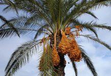 Kegunaan pohon kurma