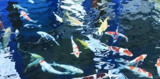 keunggulan memelihara ikan koi