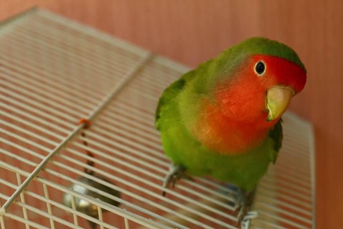 Makanan pokok lovebird
