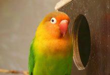 makanan tambahan lovebird