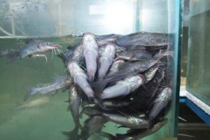 membuat pelet ikan gabus