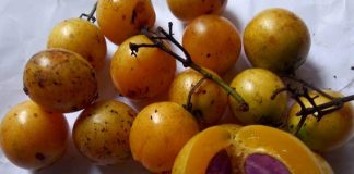 buah gandaria