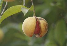 pala organik Ambon
