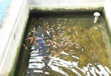 kolam tanah dan kolam beton