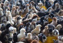 3 pantangan pakan ternak ayam kampung