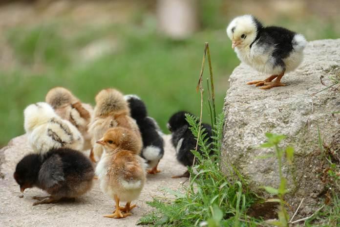 penyebab DOC ayam kampung mati