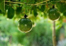 manfaat buah markisa