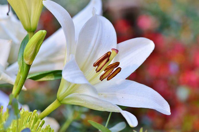 benih bunga lili