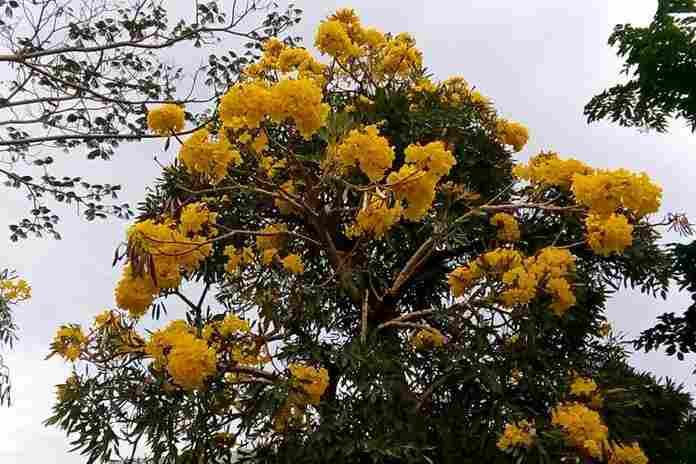 pohon peneduh jalan