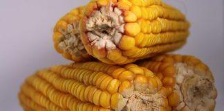 Pola produksi jagung manis