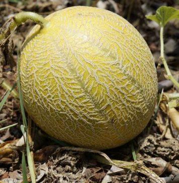 cara membuat buah melon memiliki rasa manis